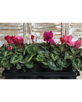 Cyclamen mix 10 unitats