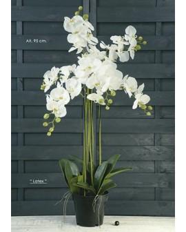 Phalenopsis blanc