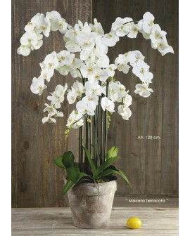 Phalenopsis blanc XL