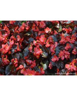 Begonia fulla fosca
