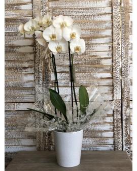 Phalenopsis blanco