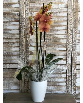 Orquídea Bangkok