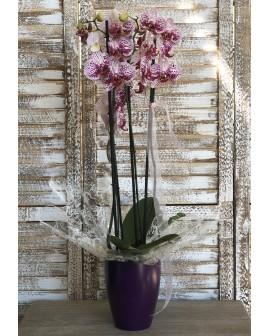 Orquídia Krabi