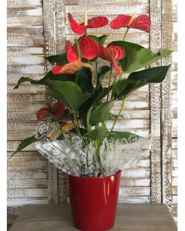 Anthurium Rojo XL