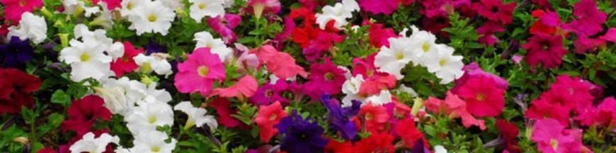 Plantes de temporada de primavera